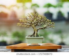 Small Bonsai Premna Taiwan on wooden base,Bonsai tree is an art and wonderful way to relax after a hard days work and it is a popular hobby in asia. Jade Bonsai, Bonsai Plants, Bonsai Garden, Bonsai Styles, Mini Bonsai, Ways To Relax, Ficus, Taiwan, Hard Days