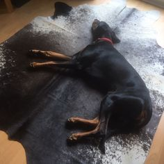This is Stephen Chesterford's rescue Doberman Koa who looks very happy with the arrival of Stephen's new cow hide! It's a good size for Koa stretching out while in full chill mode! Cow Hide, Doberman, Stretching, Chill, Fans, Happy, Animals, Animales, Animaux