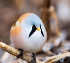 The bearded tit.  (Photo: David Drangsland)