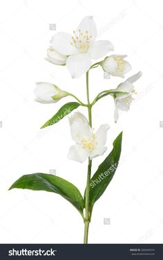 Jasmin Branch With Flowers Isolated On White Background 스톡 사진 200490374 : Shutterstock
