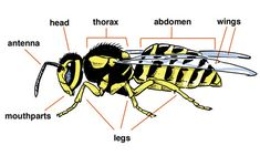 Insect Anatomy - they have three body segments: head,thorax, and abdomen, and have six legs. These features are what make an insect an insect. :P This one specifically is a hymenoptera (bee).