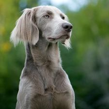 1000 Images About Longhaired Weimaraner On Pinterest