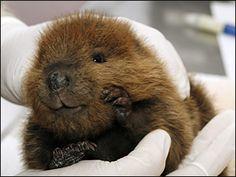 Baby beaver, looks like he's smiling