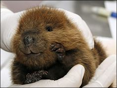 Baby beaver, looks like he's smiling
