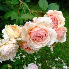 'A Shropshire Lad' Rose Photo