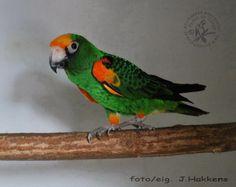 Jardine parrot - African parrots