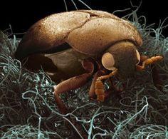 Escarabajo de alfombra donde vive y procrea alojándose luego en todos los muebles del hogar.-