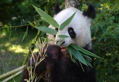 Großer Panda – Tiergarten Schönbrunn