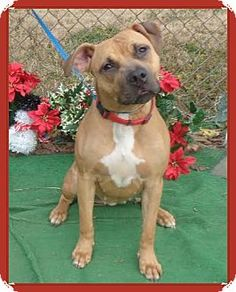Marietta, GA - Boxer Mix. Meet AGGIE, a dog for adoption. http://www.adoptapet.com/pet/12126251-marietta-georgia-boxer-mix