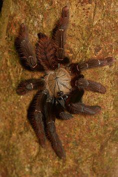 Tarantula (Lampropelma sp.) - Malaysia