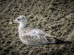 Seagull in Wasaga Beach Wasaga Beach, Canada Travel, Ontario, Photography, Animals, Beautiful, Photograph, Animales, Animaux
