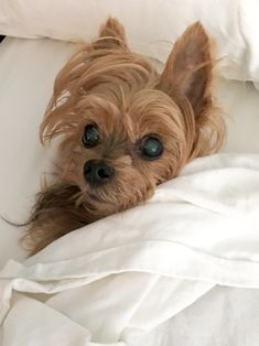 I was lucky enough to have my baby for over 15 years. I miss him every day😞 Cute Puppies, Cute Dogs, Psy, Cute Dog Pictures, Yorkshire Terrier Puppies, Yorkie Puppy, Gif Animé, Pet Id, Dachshunds