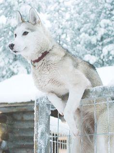 Wonderful All About The Siberian Husky Ideas. Prodigious All About The Siberian Husky Ideas. Wolf Husky, My Husky, Husky Puppy, Pet Wolf, Beautiful Dogs, Animals Beautiful, I Love Dogs, Cute Dogs, Big Dogs
