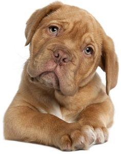 Como evitar o choro dos cães? Por que isso acontece? Confira as dicas e saiba o que fazer! Ao ver o seu melhor amigo chorando, o que você faz? O choro pode ter vários significados: chamar atenção p...