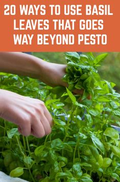 20 Clever Ways To Use Basil Leaves That Goes Way Beyond Pesto If you grow basil at home then you need to read this Fresh Basil Leaves, Fresh Herbs, Pesto, Easy Herbs To Grow, Growing Herbs Indoors, Herb Recipes, Cooking Recipes, Medicinal Plants, Drying Herbs