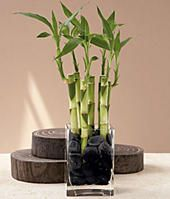 7 Stalks of Lucky Bamboo. $29.99