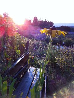Good morning sunshine :) #sunrise #lavenderfarm #hoodriverlavender #organic #oregon #beauty #garden #flowers #serene #summer