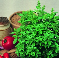 2012 Year of the Herbs: Basil Spicy Globe