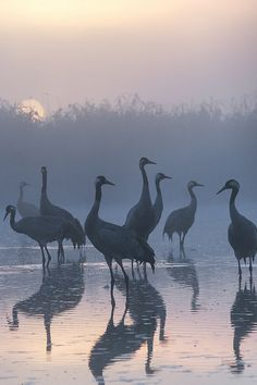 Cranes in Kwiecewo Nature Reservoir, Poland, by Peter Gray on Love Birds, Beautiful Birds, Photo Animaliere, Crane Bird, All Nature, Mundo Animal, Bird Art, Bird Feathers, Beautiful Creatures