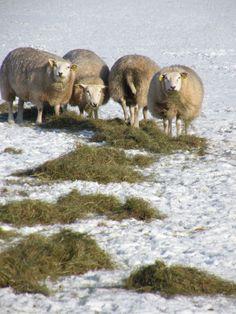 Sheeps in polder Arkemheen, Nijkerk, the Netherlands