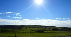 ✣ Vineyard - Devil's Corner, Tasmania ✣  Photograph © Ellen Vaman www.facebook.com/ellen.vaman1  #EllenVaman #Photography #Hydrangea #NaturePhotography #Travel #Wilderness #Vineyard #DevilsCorner #Apslawn #Tasmania #Tassiestyle