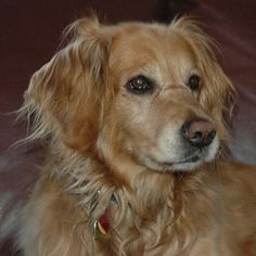 Casey, 3 yr old Golden Retriever. Contact ragom.org in Minnetonka, MN