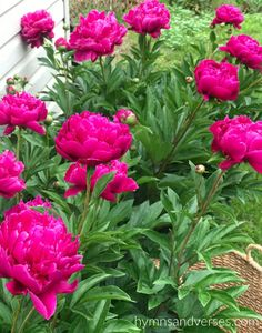 Flower Gardening For Beginners Tips for Growing Peonies - Tips for growing peonies including where to purchase peony plants, where to plant peonies, growth habit, and care of peonies in your garden. Beautiful Flowers Garden, Pretty Flowers, Beautiful Gardens, Container Gardening, Gardening Tips, Beginners Gardening, Growing Peonies, Pot Jardin, Flower Garden Design