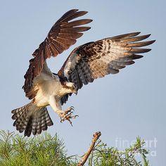 Osprey, sometimes known as the sea hawk, fish eagle or fish hawk. Raptor Bird Of Prey, Birds Of Prey, Fish Hawk, Wings Design, Wild Nature, Raptors, Wild Birds, Creature Design, Beautiful Birds