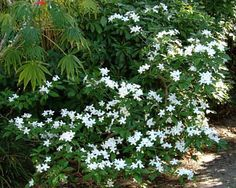 White flowers shaped like pinwheels decorate pinwheel jasmine, a charming, airy shrub that will bloom anywhere - even in partial shade.  Jasmine plants are usually thought to be fragrance plants, but this beautiful jasmine has no fragrance.  However, its delicate look, dark green leaves and bright white blooms work well in any landscape.  White goes well with other colors in the garden and can draw attention to a focal point. And white-flowering shrubs like this one make great plants for…