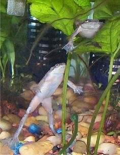 DIY African Dwarf Frog Tank Setup & Care Tips. What ever you do don't believe those folks who tell you that you can keep a Dwarf Frog in a little cup! African Frogs, Dwarf Frogs, Frog Tank, Frog Habitat, Pet Frogs, Betta Fish Tank, Fish Tanks, Pet Fish, Pet Care Tips