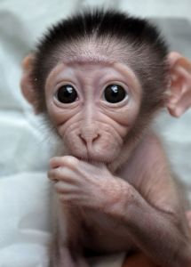Baby monkey by her morning elegance cute baby monkey, cute baby animals, funny animals Crazy Funny Pictures, Monkey Pictures, Cute Animal Pictures, Little Monkeys, Cute Little Animals, Funny Babies, Cute Babies, Baby Monkey Pet, Monkey Monkey
