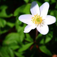 Anemone ved Turup på en smuk forårsdag  #fyn #nature #visitdenmark #naturelovers #natur #denmark #danmark #dänemark #landscape #nofilter #assens #mitassens #vildmedfyn #fynerfin #assensnatur #vielskernaturen #visitassens #instascandinavia #flowers #canon #natgeo #april #spring #forår #instaphoto