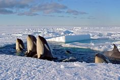A pod of killer whales 'spyhop' amid the breaking sea ice, in the Ross Sea, Antarctica.  Frozen Planet photography.
