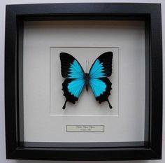 Opgezette vlinders, papilio ulysses ulysses