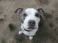 The lovely Molly is in Portland, OR and would LOVE her forever family to find her: http://www.lovers-not-fighters.org/#!the-blue-quintet/c4hv