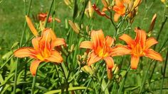 Daylilies are popular, easy-to-grow, low-maintenance perennials. Exotic Flowers, Orange Flowers, Beautiful Flowers, Growing Flowers, Planting Flowers, Foundation Planting, Astilbe, Unusual Plants