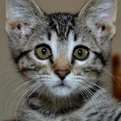 Baby Noah, available for adoption: Domestic Short Hair, Cat; Olathe, KS #cats #pet adoption #cat adoption