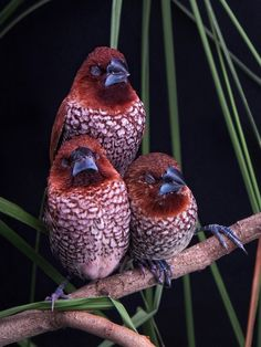 Scaly-breasted Munia or spotted munia (Lonchura punctulata) - sometimes known as nutmeg mannikin or spice finch, is a sparrow-sized estrildid finch native to tropical Asia.