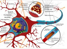 -Brain Plasticity Forms Who We Are   Neuroplasticity