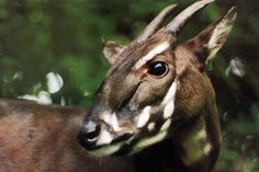 :)  a saola pauses in the jungle of Vietnam