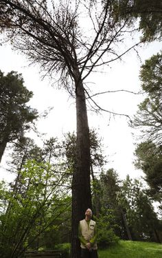 One of the state's biggest pines is headed for the saw, after climate change and bugs weaken a champion at the Washington Park Arboretum