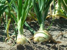 La cebolla pertenece al género Allium, el más importante de la familia de las Liliáceas, que incluye más de 500 especies. En él se incluyen hortalizas tan conocidas como las cebolletas, el cebollino y el puerro. Mariana Leaño 24 abril