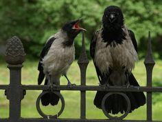Cornella emmantellada - Corneja Cenicienta - Cornacchia grigia - Corvus cornix - Hooded Crow