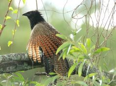 The Pheasant Coucal (Centropus phasianinus) is a species of cuckoo in the family Cuculidae. It is found in Australia, Indonesia, and Papua New Guinea. Its natural habitats are subtropical or tropical moist lowland forests and subtropical or tropical mangrove forests. It has adapted well to canefields in northern Australia.[2] The Pheasant Coucal is unusual among Australian cuckoos in that it incubates and raises its own young instead of laying its eggs in the nest of another species.