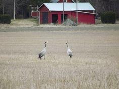 """Kurjet ©Mauri Huppunen: """"Kurjet pellolla huhtikuussa."""""""