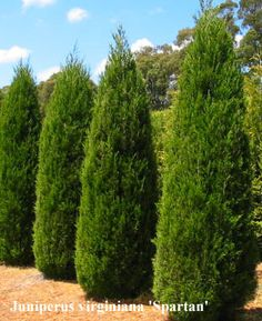 Can I have a little taste of Canada in my new garden in Australia?  What coniferous trees are good in the dry heat?