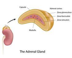 Understanding Our Adrenal System: Epinephrine (Adrenaline) - Fitness, Health, medicine, adrenal fatigue, adrenal system Adrenal Gland Hormones, Adrenal Cortex, Adrenal Health, Adrenal Glands, Adrenal Fatigue, Gut Health, Health Care, Adrenal Burnout