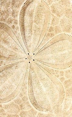 Sand Dollar by Henry Domke Fine Art