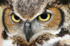 Pictures of Great Horned Owls, Barred Owls, Barn Owls, Screech Owls