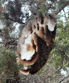 Wild Bee Hive
